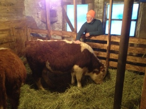 yearling bull hereford cross