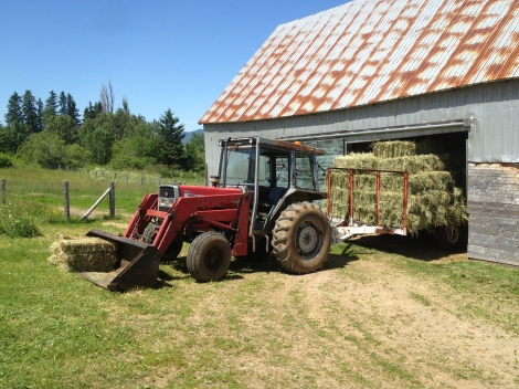 Hay feed Perennial grasses timothy