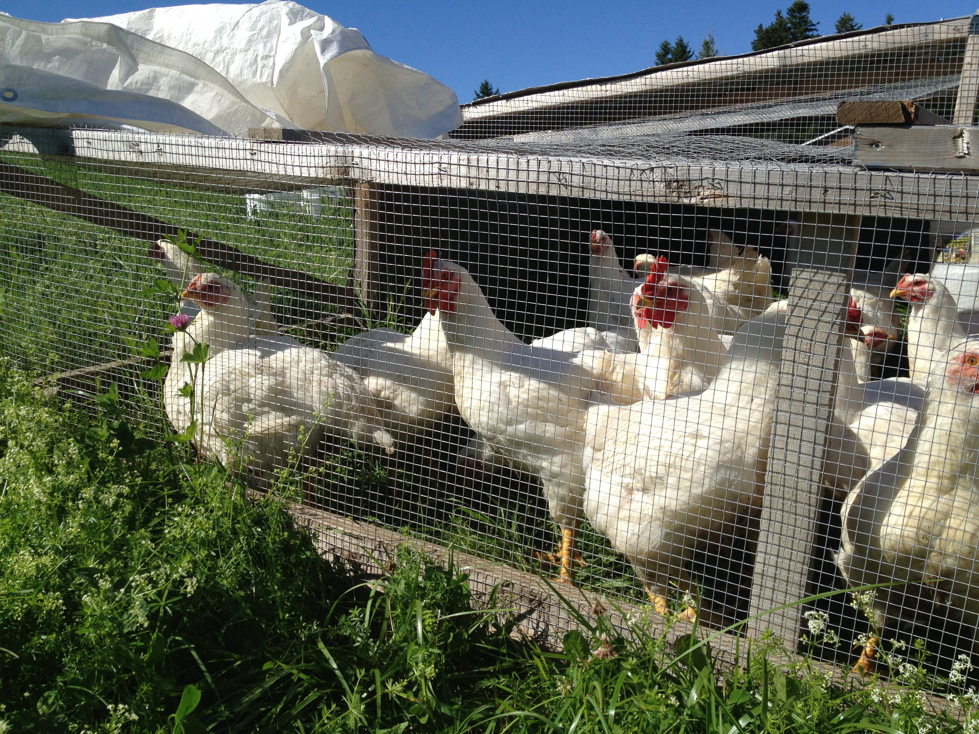 chicken tractors pastured poultry meatkings