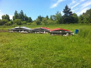 Newly renovated portable chicken housing