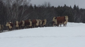 Our herd during a pre-storm hay feast