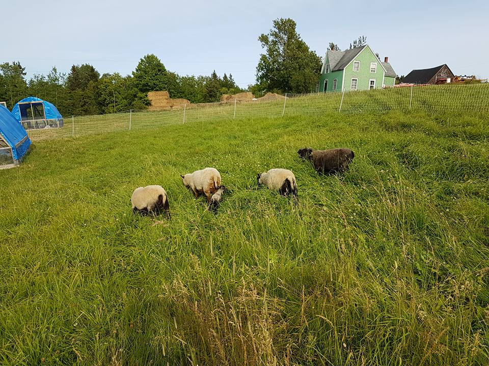 grazing Shetlands