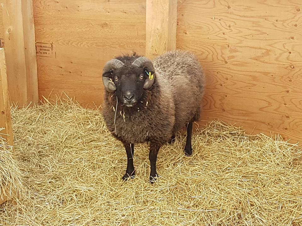 Robbie the ram